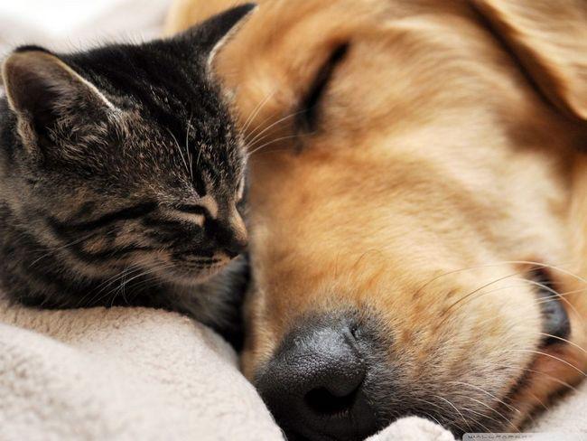 Priateľstvo mačky a psy