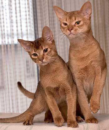 Abyssinian mačka plemena