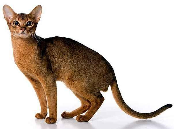 Абисинска котка порода