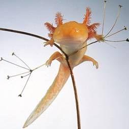 Axolotl: čuvanje, hranjenje, briga