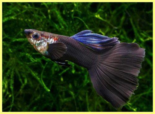 Akvarij riba fotografija sa naslova i opisa
