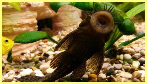 Catfish fotografie blocat
