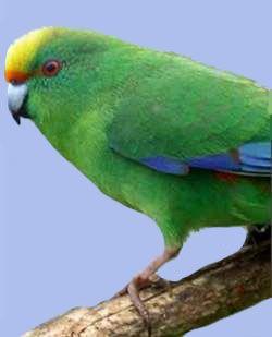 Alpiysy malherbri papagal taityanskiycyanoramphus.