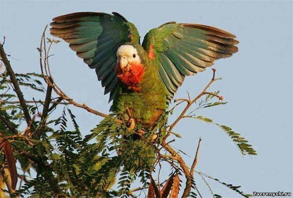 Cubanez Amazon (Amazona leucocephala)