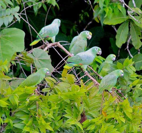 Un efectiv de Mealy Amazon, printre ramurile copacilor
