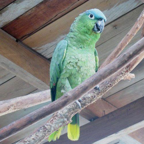 Mealy Amazon în captivitate