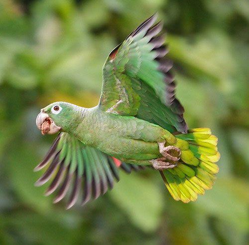 muștele Mealy Amazon