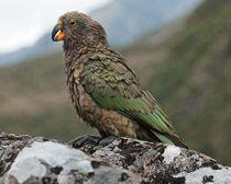 papagáj kea