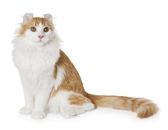 Cat Američki Curl mačka American Curl Foto