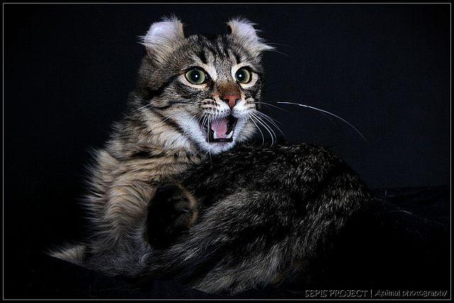 Američki Curl - dugodlaka mačka
