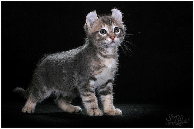 Kitten Američki Curl