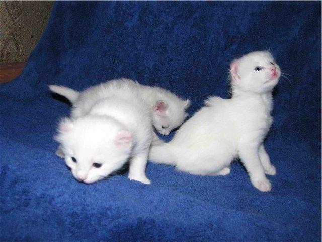 Američki Curl mačići