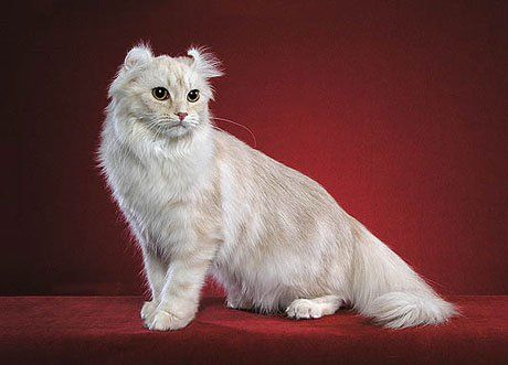 Američki Curl mačka fotografija