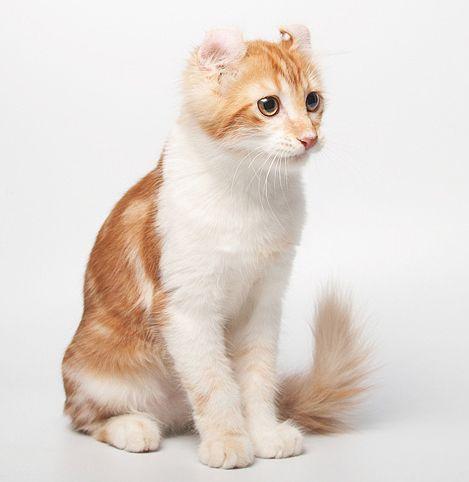 American Curl cat plemeno