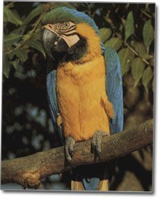Papagáj fotografie modrá a žltá