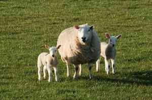 La începutul perestroikăi în Rusia, au existat aproximativ 64 milioane de oi. Apoi, această cifră a scazut dramatic la 19 milioane de euro.