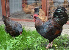 Barnevelder - rijetke i lijepe pilića teške meso i pravac jaje