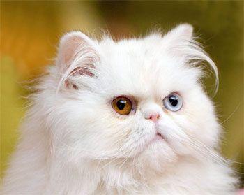 Biela mačka s inými očami