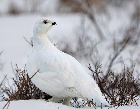 Bijele kuropach i lov za njega