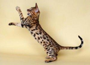 mačka plemena