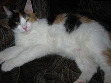 tehotná mačka