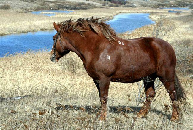 Ruská stepný kôň