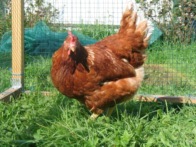 Găină cu pene maro într-o cușcă pe iarbă