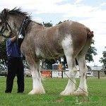 Clydesdale kone v postroji