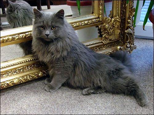 Perzská mačka dymové farby. Foto, obrazu mačka Kartishki