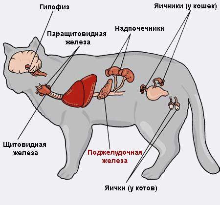 Boala pancreatice la pisici.
