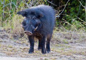 šuma svinja