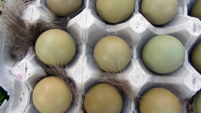 Fazani jaja u ladicu za papir