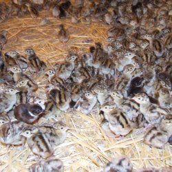 Mala pilića fazana u štali