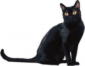 Бомбай котка порода