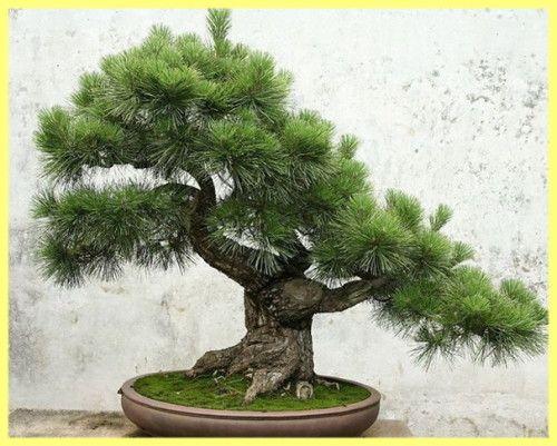 Bonsai borove običnih fotografija