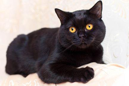 Čierna farba britských mačiek