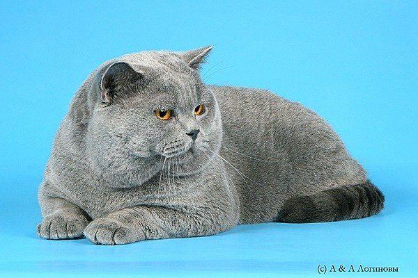 British Shorthair albastru pisica fotografie, British Shorthair descriere rasa