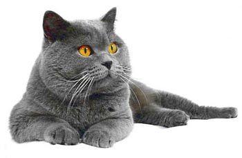 mačke uzgajati british fotografija