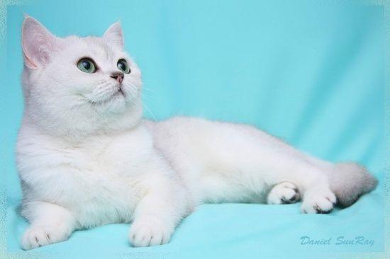 British Chinchilla fotografie pisică, argint britanic chinchilla fotografie