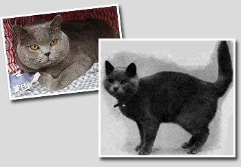 foto britanski cat