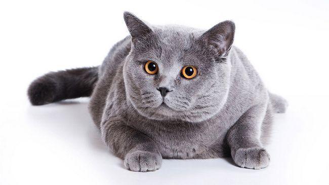 british mačka