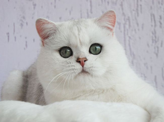Britanski srebro Chinchilla, britanski srebro Chinchilla fotografija, British zlatne Chinchilla, Britanska kratkodlaka mačka mačka slike