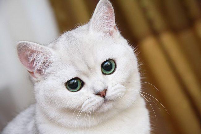 British Shorthair descriere caracter rasa