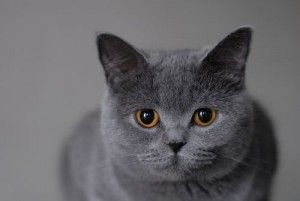 Британски котки. История на породата