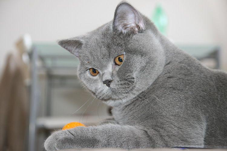 British mačke. Povijest pasmine