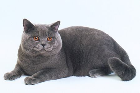 british mačke