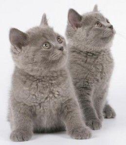 Британският коте, които изберат една котка или котенце