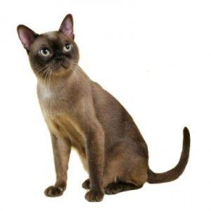 Бирмански котка