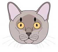 Бирмански котка порода. стандарта на породата и критерии за оценка.