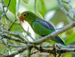 Buroshapochny peruși rumped, papagal sau purpurovohvosty (touit pupurata)
